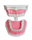 Plastikowi zęby i dziąsło model fotografia stock