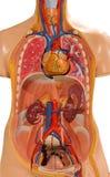 Plastikowy ciało ludzkie model Zdjęcie Stock
