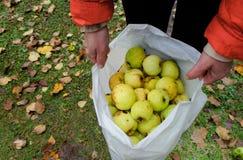 Plastikowy Worek Z jabłkami Fotografia Royalty Free