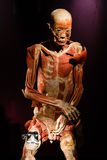 Plastinated human body on display Royalty Free Stock Photography