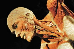 Plastinated Human Specimen Stock Photos