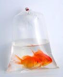 plastique d'or de poissons de sac Image stock