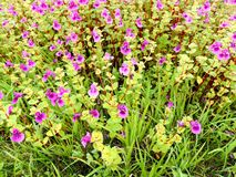 Platô de Kaas - vale das flores no Maharashtra, Índia Imagem de Stock
