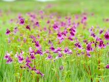 Platô de Kaas - vale das flores no Maharashtra, Índia Fotos de Stock Royalty Free
