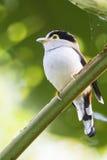 Plata-breasted Broadbill Imágenes de archivo libres de regalías