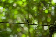Plata-breasted femenina Broadbill en árbol Imagenes de archivo