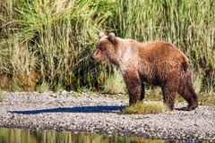 Plata Salmon Creek del oso grizzly de Alaska Brown Imagen de archivo