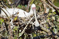 Platalea Alba Exotic Big Birds White in the Nest Stock Photo. Big Exotic Bird royalty free stock image