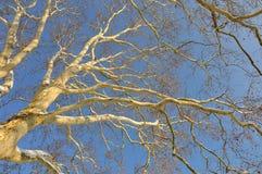 platan结构树 免版税库存图片