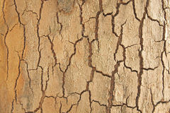 Platan bark. Close up of the platan bark for the background Royalty Free Stock Image