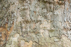 Platan bark Royalty Free Stock Image