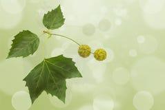 Platan leaf Stock Photography