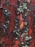 Platan skäll med laven Royaltyfri Bild