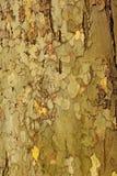 Platan trädskäll Royaltyfria Foton