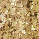 Platan tree bark Royalty Free Stock Photo