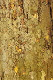 Platan tree bark Royalty Free Stock Photos