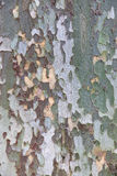 Platan tree bark texture Royalty Free Stock Images