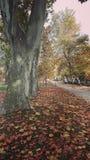 Platan trees. In the automn park Stock Photos