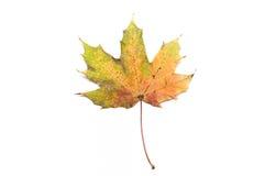 platane被隔绝的叶子  库存图片