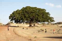 Platane-Feigenbaum (Ficus sycomorus) stockbild