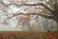 Platane mit breiten Niederlassungen im nebelhaften Park des Herbstes Stockbilder
