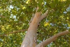Platane Treetop stockbild