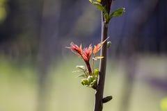Platane u. x28; Acer-pseudoplatanus& x29; Knospen- und Jungeblätter im Frühjahr Lizenzfreie Stockbilder