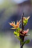 Platane u. x28; Acer-pseudoplatanus& x29; Knospen- und Jungeblätter im Frühjahr Lizenzfreie Stockfotos