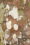Platanebarkenabschluß oben Stockfotos
