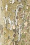 Platanebarkenabschluß oben Stockbild
