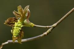 Plataneblume - Acer pseudoplatanus Stockfotografie