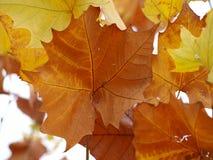 Platanen-Blätter in den Stadien Stockbilder
