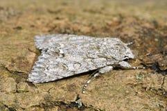 Platanen-Motte Stockfotografie
