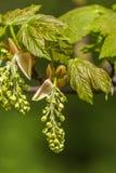 Platanenbaumblume Stockfoto