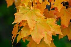 Platanenblätter im Herbst Stockbilder