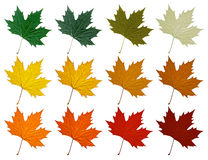 Platanenblatt Stellen Sie in verschiedene Farbschatten ein Stockfotos