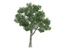 plataneplatanus Royaltyfria Foton