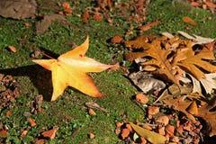 Platanhöstblad 2008 leaves för leaf för dunge för torr fall för lufthöst guld- nära oaken oktober russia vänder som spolar yellow Royaltyfri Fotografi