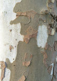 Platano / plane tree bark Stock Photo