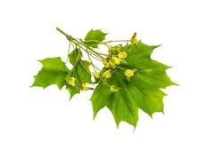 Platanoides d'acer de branche d'érable avec des fleurs sur l'étape de l'ovaire f images stock