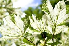 Platanoides Drummondii d'Acer d'érable de Drummond Norway de feuilles dans les rayons du soleil lumineux Images libres de droits
