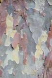 Platanskäll, naturlig kamouflagemodell Arkivfoto