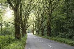 Platanus alley in spring with road Stock Image