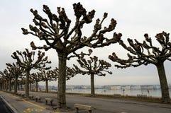 platanus drzewa Zdjęcie Royalty Free
