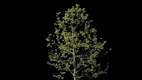 Platanus Isolated Tree. Small Platanus isolated on black background with alpha channel - Apple ProRes 4444 with Alpha channel, 10bit high quality footage stock video footage