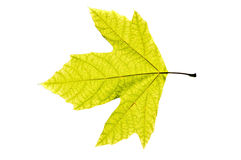 Platanus Leaf  Royalty Free Stock Photo