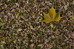 Platanus leaf on dry leaf bed Royalty Free Stock Photography