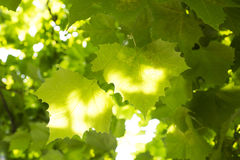 Platanus leaves Royalty Free Stock Photography
