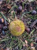 Platanus Occidentalis Tree Seed Pod. Royalty Free Stock Image