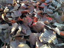 Platanus Occidentalis Tree Leaves on the Ground during Sunset in the Fall. Royalty Free Stock Photo